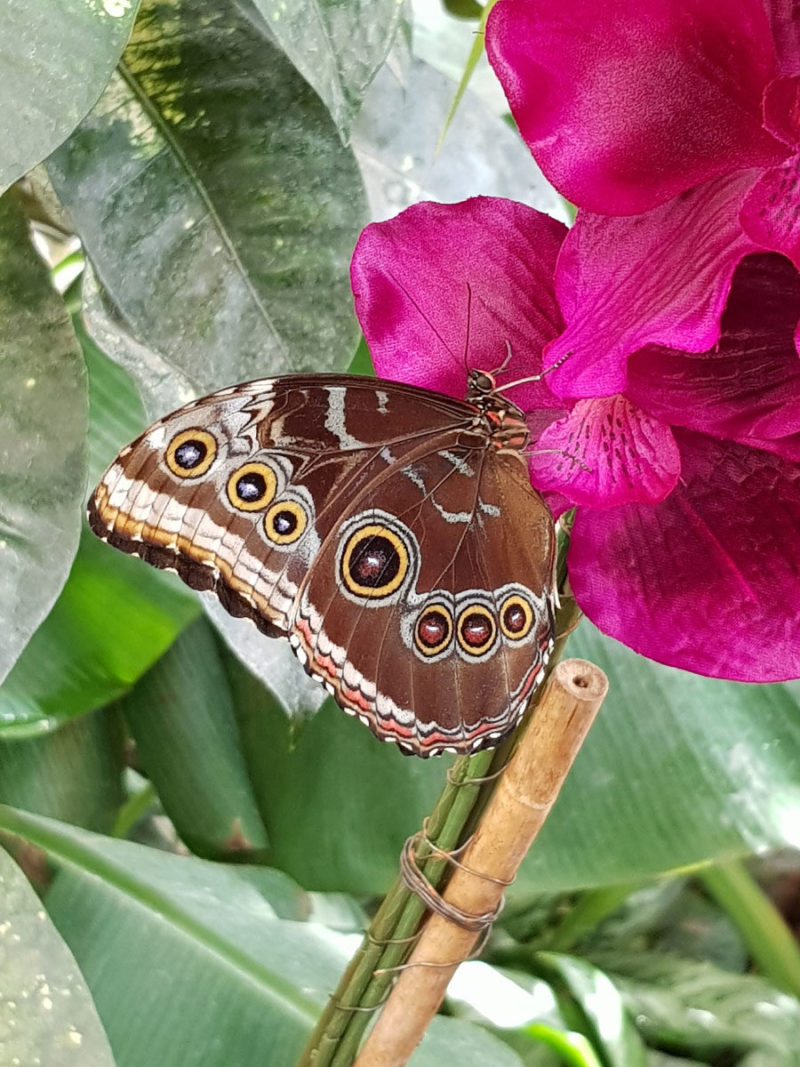 Schmetterling auf pinkfarbener Blüte